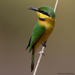 Little Bee-eater (leendert3) Tags: ngc npc littlebeeeater sunrays5