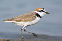 (Showkat.Shuvro- ) Tags: nature ngc waterbird bangladesh wildbirds kentishplover wildlifephotography explorebangladesh showkatshuvro  charadriusalexandrines