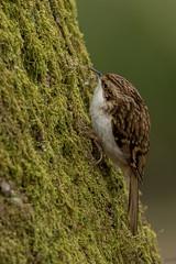 Treecreeper (wjmccourt) Tags: treecreeper rspb leightonmoss
