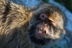 Barbary Macaque (AndyB@darleyD) Tags: monkeys gibraltar apes barbarymacaque