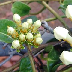 Oleander aphids (Aphis nerii) on Stephanotis (Scot Nelson) Tags: oleander aphids aphisnerii stephanotisfloribunda