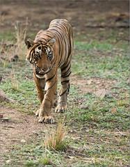 Tiger on the Prowl (Raymond J Barlow) Tags: orange india nature animal wildlife tiger phototours raymondbarlow
