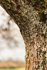 366-101 (bine77) Tags: old tree nature canon alt natur bow rough baum rinde projekt kurve 366 rauh eos100d