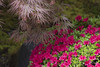 Acer and Azalea (Scott DeSelle) Tags: canon portland japanesegarden maple momiji acer azalea acratech reallyrightstuff rrs eos7dmarkii