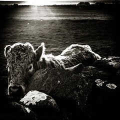 Cows (Christine Anuszewski) Tags: ireland sunset cows doolin countyclare