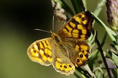 Butterfly (Capturedbyhunter) Tags: primavera portugal butterfly 1 spring focus close pentax bokeh outdoor santarm fernando 28 manual 135 marques vivitar f28 k5 135mm foco ribatejo coruche focusing focal caador rosmaninho focagem fajarda