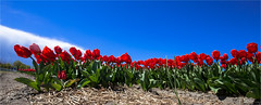 All together now to the left (zilverbat.) Tags: world blue red wallpaper white nature dutch field tulips image postcard nederland cinematic bollen hotspot tulpen zuidholland lisse bollenveld bollenstreek tulpenveld dutchholland fieldsoftulips tulipsfield