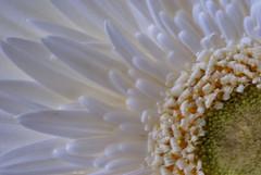 White (ninayak- Off on Tuesdays) Tags: white color nikon heart centre center gerbera frame daisy treat grains pure treated fill d60
