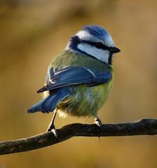 garden Blue Tit (Feathers (Allan)) Tags: dunnock