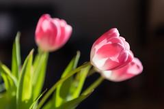 Lente / Spring (Herman1705) Tags: spring tulip nik lente tulp