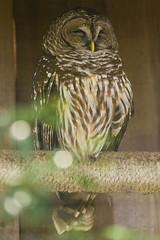 DUC_2519r (crobart) Tags: bird birds florida center owl prey raptors barred audubon maitland