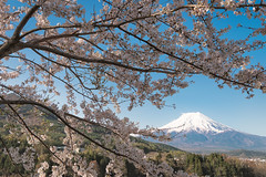 Mt. Fuji and Cherry Blossoms (Yuga Kurita) Tags: travel flowers flower nature japan cherry landscape spring fuji mt blossom blossoms mount fujisan fujiyama
