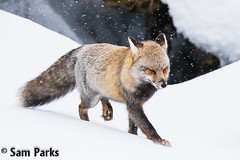 RF182 (Sam Parks Photography) Tags: winter wild usa dog snow nature animal fur rockies mammal nps wildlife unitedstatesofamerica snowstorm meadow canine valley northamerica rockymountains hunter snowing wyoming predator snowfall blizzard carnivorous naturalworld jacksonhole vixen carnivore snowbank furbearer tetonrange parkservice redfox vulpesvulpes grandtetonnationalpark predatory fallingsnow gye mountainous carnivora furbearing canid gtnp canidae crossfox greateryellowstoneecosystem horizontalorientation partiallymelanistic