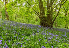 Bluebells at Duncliffe (Anthony White) Tags: uk trees plant flower green nature bluebells woodland outdoors dawn countryside spring purple scenic tranquility paisaje treetrunk dorset gb springtime frhling 2015 beautyinnature world100f