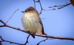 Eastern Phoebe (vernonbone) Tags: birds nikon sigma 500mm eastpoint d3200 april2016