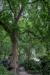 Open Garden Squares 2015 - 1841.jpg (DavidRBadger) Tags: city london greenspace planetree 2015 cityofwestminster londonplanetree urbansquare opengardensquares carltonhouseterracegarden