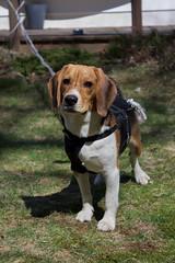 Buddy the Beagle (johnruscombe1965) Tags: dog beagle buddy buddyngton lordbuddyngton
