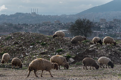 Sheep and Mosques (jonny hogg) Tags: turkey refugees un unitednations syria humanitarian wfp drone euronews