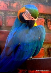Mgica (Oncotive!) Tags: fauna aves animais arara cachaa alambique valeverde