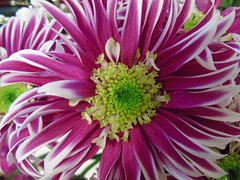 Chrysanthemum (stuartcroy) Tags: flower colour island orkney purple chrysanthemum