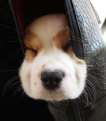 Doggie Bag (FlorDeOro) Tags: dog animal closeup canon bag puppy photography sweden macromondays mijarajc