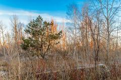 The Bush At Sunrise (vernonbone) Tags: ontario landscape outside nikon eastpoint d3200 april2016