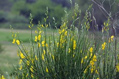 Ginestra (giorgiorodano46) Tags: roma yellow giallo april ginestra 2016 broomflower saveearth giorgiorodano aprile2016