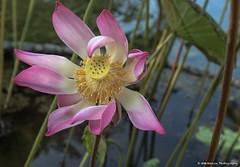 Lotus Flower (wmckenziephotography) Tags: bali flower lotusflower lotusblossom beautifulflower balilotusflower