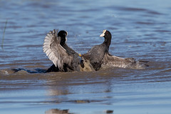 Coots Fighting (Simon Stobart) Tags: water animal club fight fighting splashing coots