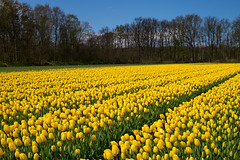 Tulip Field (romanboed) Tags: leica flowers blue trees sky holland netherlands dutch field yellow landscape countryside spring tulips farm sunny m agriculture 50 summilux 240