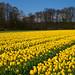 Tulip+Field