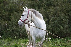 White beauty (Eleanna Kounoupa) Tags: horse white nature animals greece corfu  ionianislands