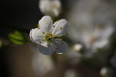 _MG_5211 (grzegorz_63) Tags: macro spring makro plumblossom canon70d