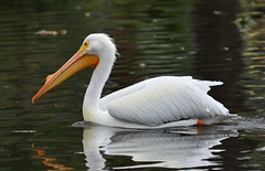 21623: american white pelican (Panegyrics of Granovetter) Tags: americanwhitepelican pelecanuserythrorhynchos