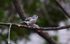Tufted Titmouse (alex ranaldi) Tags: bird grey titmouse tufted tuftedtitmouse