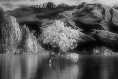 Faux IR (Ian@NZFlickr) Tags: bw blur tree by ir conversion nz layer otago wanaka added false