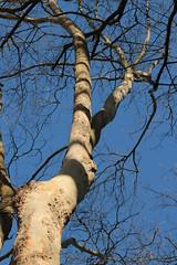 look up (annapolis_rose) Tags: sky tree bluesky treetrunk