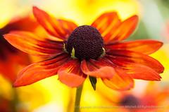 Rudbeckia, 8.12.15 (pattyoboe) Tags: flowers flora walk rudbeckia
