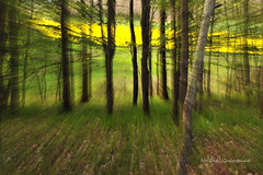Vers le printemps ..... (Hlne Quintaine) Tags: jaune vert campagne arbre bois champ herbe feuille tronc zooming colza sousbois