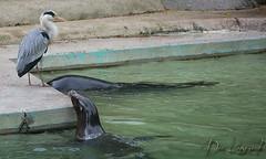 Spiel mit mir! (dieunsoziale) Tags: zoo osnabrck robbe tier reiher seehund