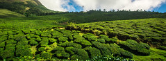 Tea estates of Munnar ([s e l v i n]) Tags: india green nature natural tea kerala greenery munnar teaestate greenearth keralatourism keralatravel picturesofkerala selvin