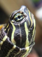Trachemys (pictumad) Tags: pet macro animal turtle reptile tortoise trachemys reptil acuatic tortugadeagua olloclip