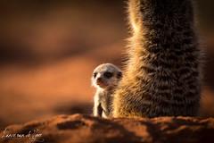 _D2_0667 (Lance van de Vyver - Private Guide) Tags: africa southafrica meerkat presentation kalahari suricate tswalu