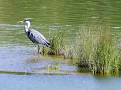 Hron (Raymonde Contensous) Tags: 92 oiseaux hron parcdesceaux hautsdeseine