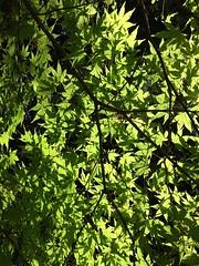 maple light (Szymek S.) Tags: canada leaves vancouver campus maple university branch britishcolumbia ubc foliage japanesemaple pointgrey universityofbritishcolumbia