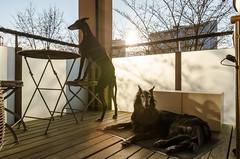 _D7K1404.jpg (markiisi) Tags: dog pet sun cute finland spring balcony ghost hound content lazy julius sighthound alert galgo guiro tamron1750 silkenwindhound