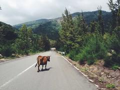 Wandering Stock (MarlboroughDistrictCouncil) Tags: road street autumn trees newzealand sunshine animal forest landscape outdoors cow outdoor hill stock mountainside marlborough bovine wander marlboroughdistrictcouncil