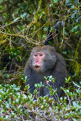 Harry_28956,,,,,,,,,,,,, (HarryTaiwan) Tags: monkey nationalpark nikon taiwan    d800 nantou          yushannationalpark  formosanrockmonkey      harryhuang hgf78354ms35hinetnet adobergb