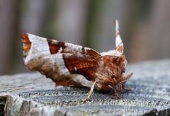 Violettbraune Mondfleckspanner (Selenia tetralunaria) (Hugo von Schreck) Tags: macro butterfly insect moth falter makro insekt schmetterling motte f13 seleniatetralunaria ef50mmf25compactmacro canoneos5dsr hugovonschreck violettbraunemondfleckspanner