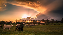 Freakish (Michael Angelo 77) Tags: sunset countryside sheep farm april rainclouds lightrays